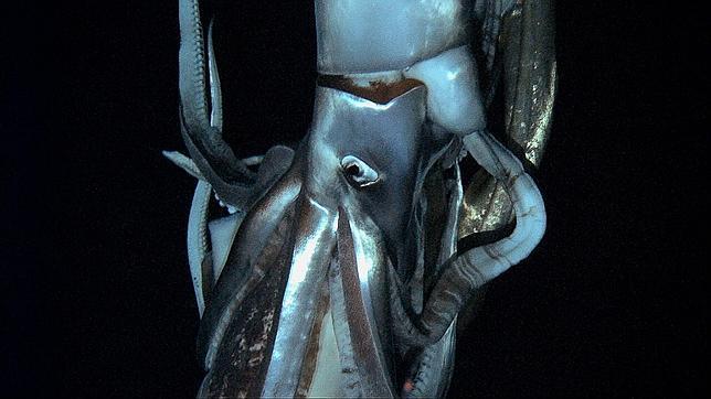 El calamar gigante fotografiado en Japón (Foto: AFP)