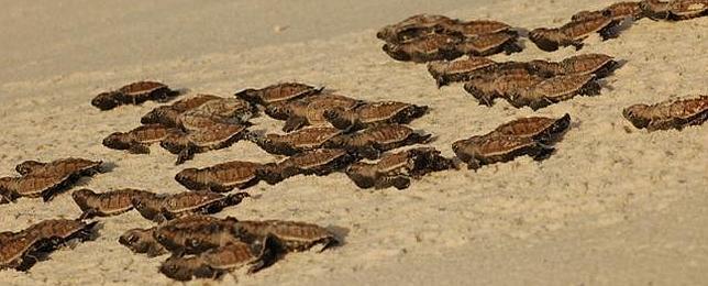 La extraña vida sexual de las tortugas