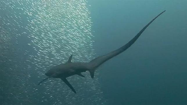 El tiburón que mata a coletazos