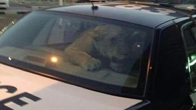 Un león se cuela en una zona comercial de Kuwait