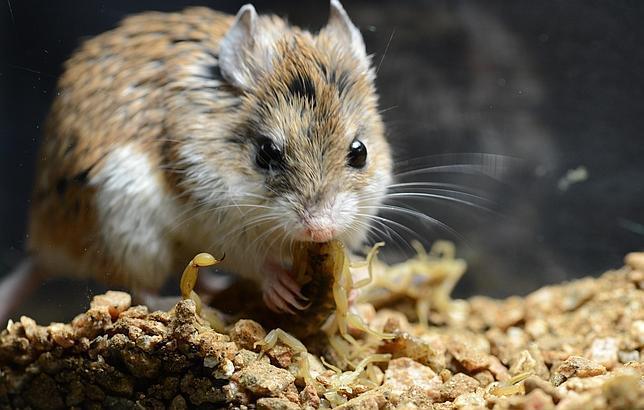 Los increíbles ratones sin dolor