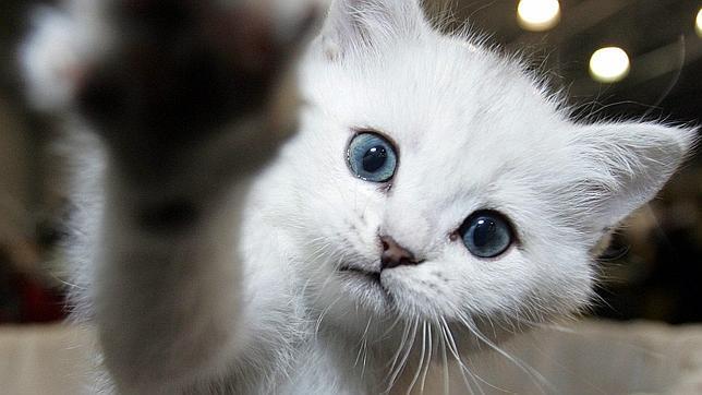 Los gatos reconocen la voz de su dueño, pero prefieren ignorarle