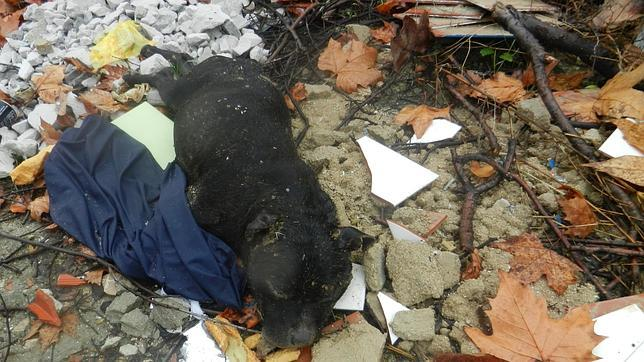 Aparece un pit bull cosido a bocados en un barrio de Moratalaz donde se celebran peleas de perros