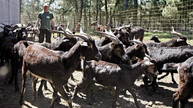 Permitidos los preparados para bebés a base de leche de cabra