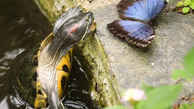 De mascota exótica a especie invasora