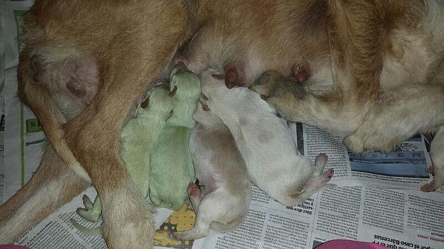 Dos perros verdes nacen en un municipio de Valladolid