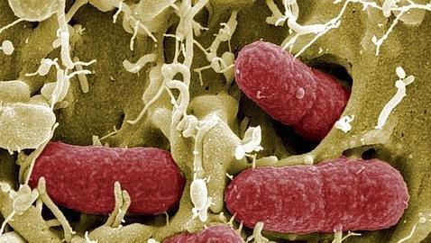 Se cree que en el organismo hay 10 veces más microbios que células. Muchos de ellos están en el intestino