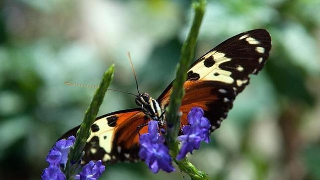 Una mariposa del mariposario Selva Viva de Bello, Antioquia (Colombia)