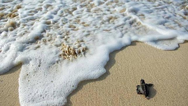 La tortuga boba, Caretta caretta, se encuentra amenazada a escala mundial