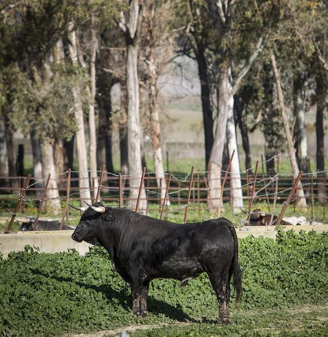Toro de lidia en Medina Sidonia