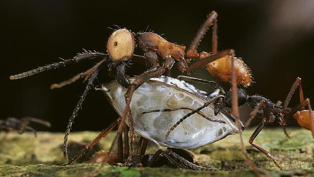 El estudio, publicado en la revista 'Proceedings of the Royal Society B.', en  ha puesto a prueba los niveles de isótopos en hormigas de la ciudad de Nueva York para determinar la variedad de su dieta