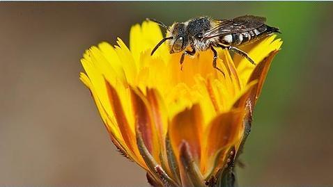 Un estudio internacional ha examinado el papel de las abejas silvestres en el éxito de los cultivos