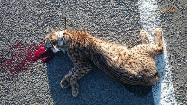 El atropello se ha convertido en la principal causa de muerte del lince ibérico en Doñana
