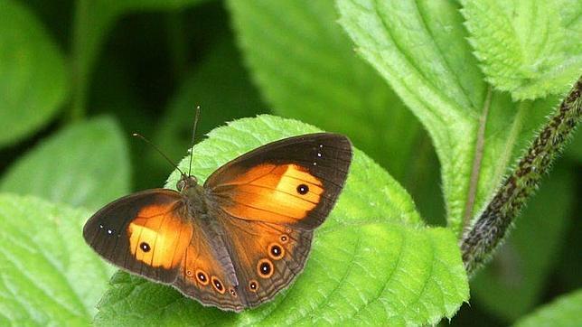 Hasta el 28% de las especias de mariposas de la Península Ibérica podrían estar sin descubrir