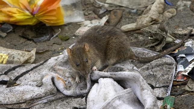Una rata olisquea un calcetín en una calle de Madrid capital