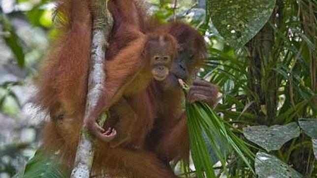 El orangután y el hombre, más distintos de lo que se creía