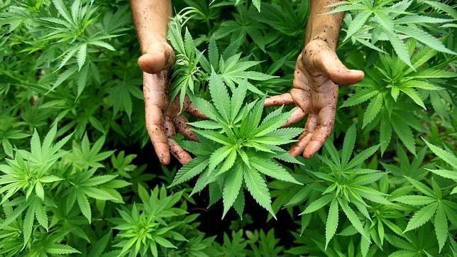 Un grupo de congresistas quiere legalizar el cannabis