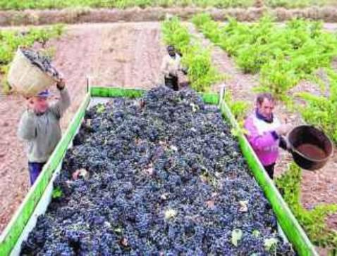 Villafranca recoge un 29% menos de uva pero con más calidad