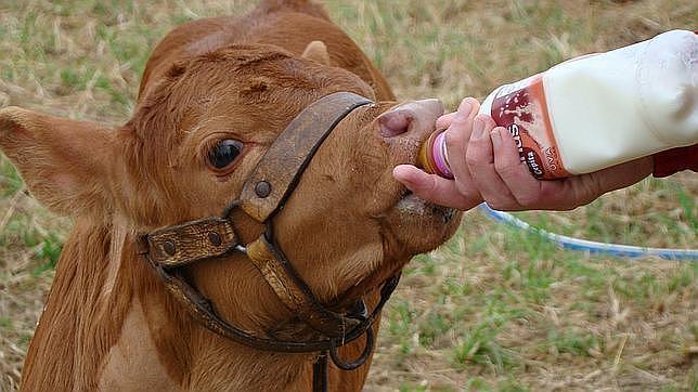 Una vaca clonada comienza a dar leche similar a la materna