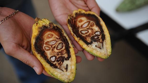 La planta del Cacao tendría una mayor variedad genética de la que se pensaba (en la imagen una de las semillas por dentro)