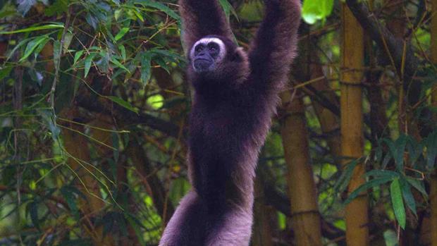 La tala de bosques tropicales ha contribuido a la disminución de la población en muchos animales, incluido el gibón de Borneo