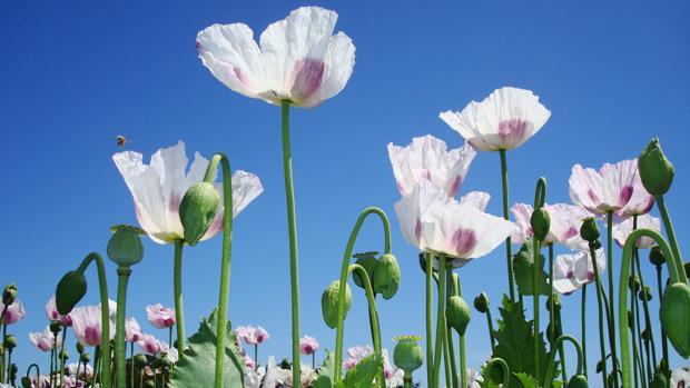 Flores de adormidera