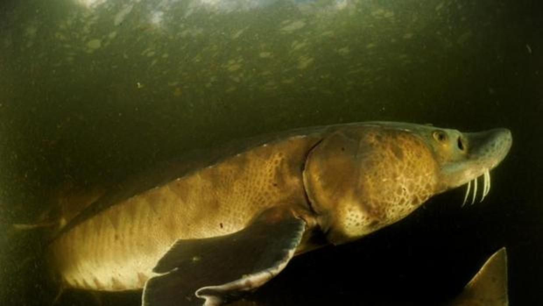El hombre casi ha acabado con todos los grandes animales de agua dulce