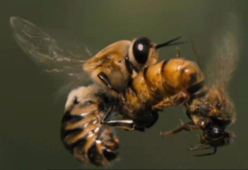 Las reinas pueden aparearse con hasta 90 machos durante un breve vuelo de apareamiento