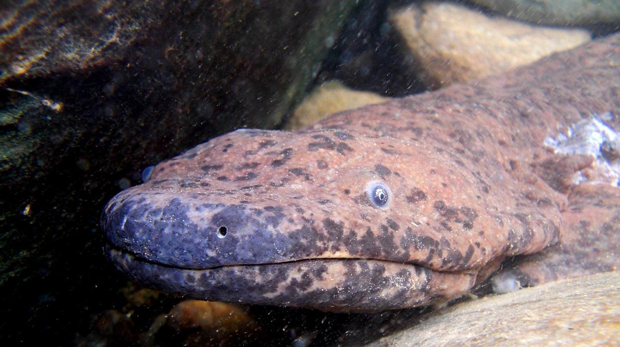 Hallan una nueva especie de salamandra gigante de dos metros de largo
