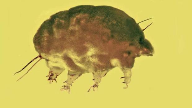 Cerdo del moho fosilizado