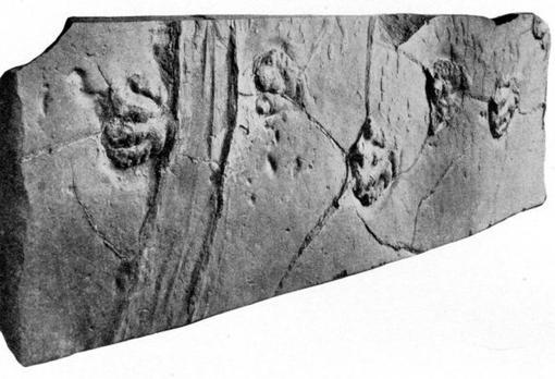 Fósil donde se aprecian varias huellas de un prosaurópodo y un misterioso rastro alargado