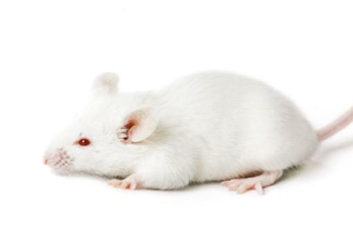 Ratón albino BALB/c, ampliamente usado en todo tipo de experimentos