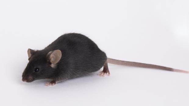 Un ratón transgénico de los Laboratorios Jackson. En enero se resucitó a partir de esperma criogenizado y ha sido criado durante meses para obtenerlo en grandes cantidades