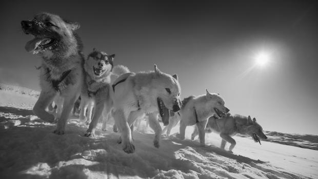 Perros de trineo de Groenlandia