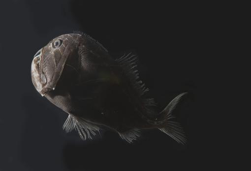Anoplogaster