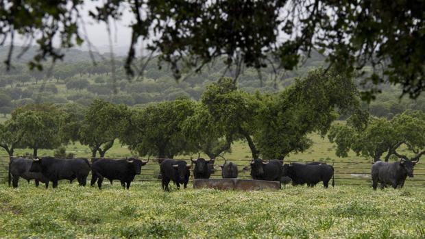Toros de Victorino en «Las Tiesas de Santa María»