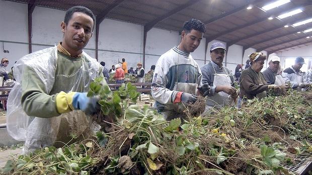 Trabajadores extranjeros en la recogida de espárragos, en Guadalajara