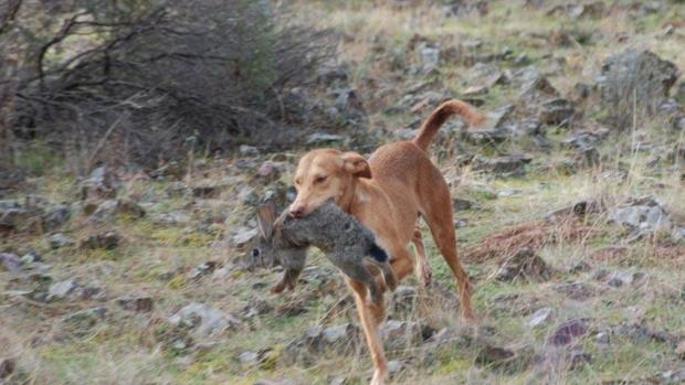 Un podenco cazando conejos en el campo