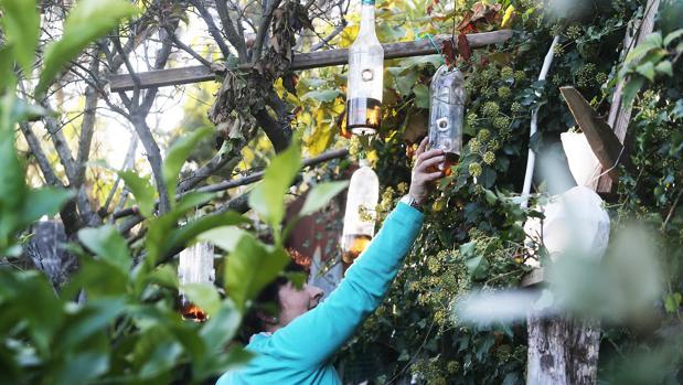 Una mujer coloca una trampa casera contra las avispas velutinas en su finca