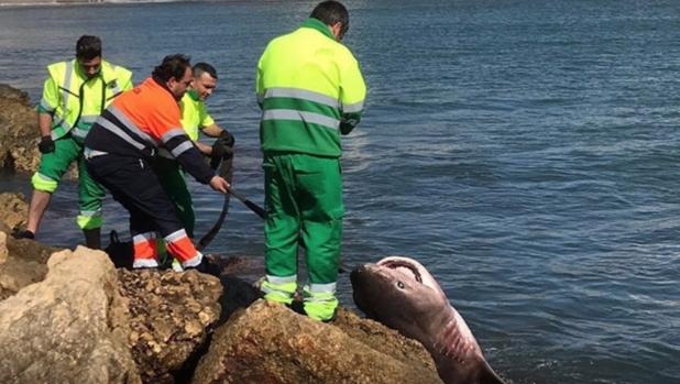 Momento del rescate del tiburón muerto en Santa Pola