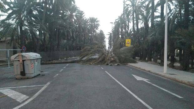 Imagen de una palmera tumbada por el viento en Elche