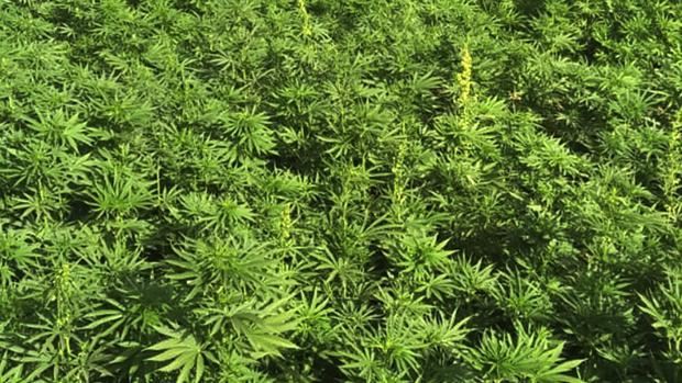 El joven detenido tenía también su propia plantación de marihuana