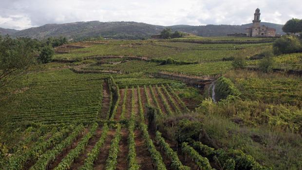 Viñas en la comarca orensana de O Ribeiro