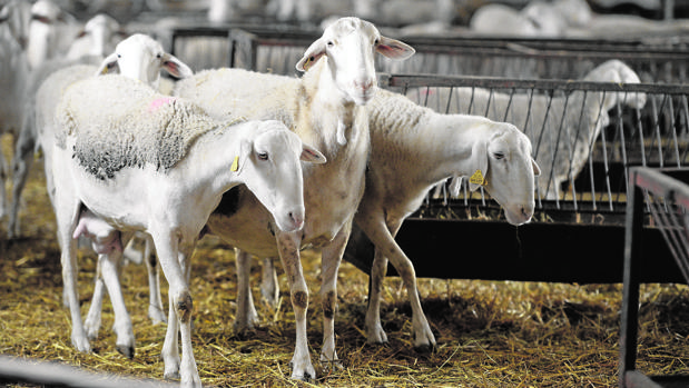En la región hay 2.600.000 de ovejas y 6.500 explotaciones de ovino (el 5,7% de toda España)