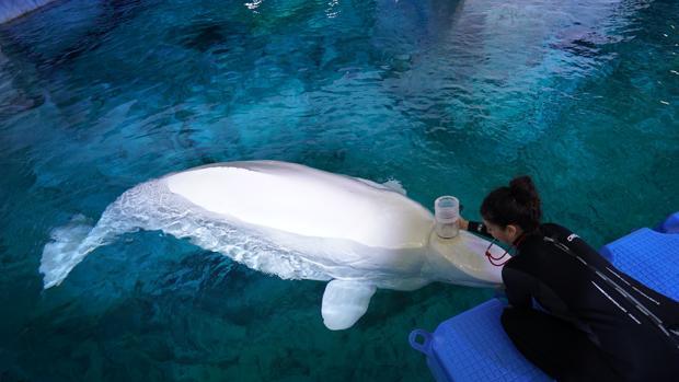 Una investigadora del Oceanográfic realiza una espirometria a un beluga