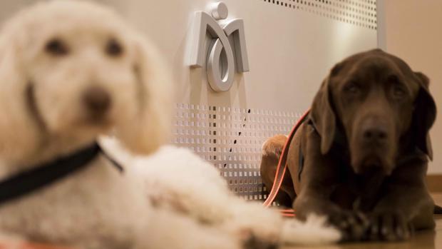 Dos de los perros de terapia que participarán en el proyecto