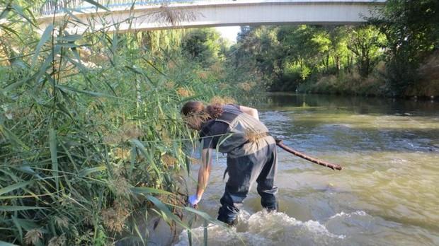 En la imagen, un técnico de Madrid Salud trabajando dentro del cauce del río realizando el tratamiento biológico de larvicidas sobre las eneas, donde prolifera la mosca negra