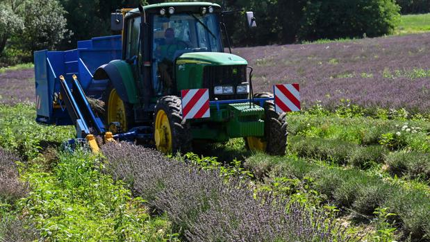 Imagen de un tractor cosechando en un campo de lavanda