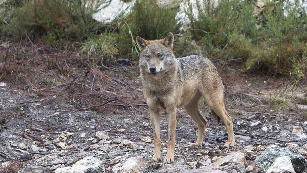 Un lobo en el Centro del Lobo Ibérico (Zamora)