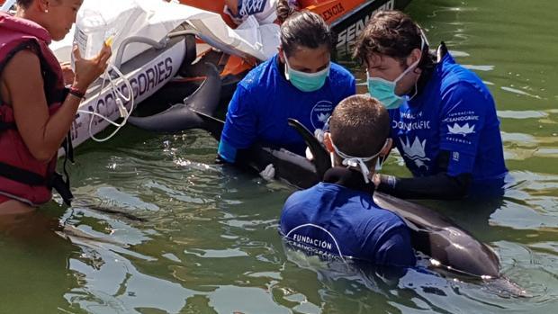 Imagen del delfín siendo asistido por la Fundación Oceanogràfic